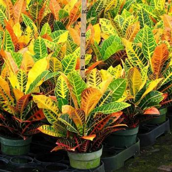 beberapa-jenis-tanaman-puring
